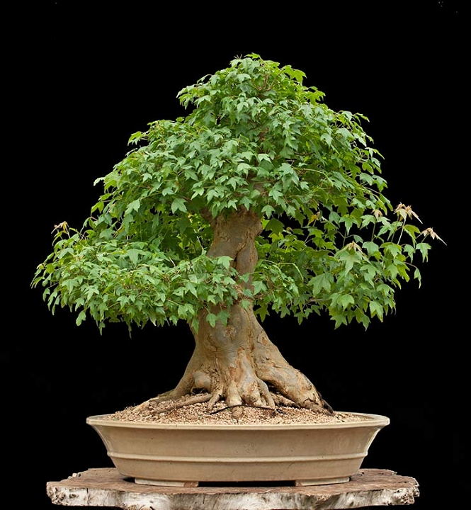 Most expensive pictures posters news and videos on for Most expensive bonsai tree ever